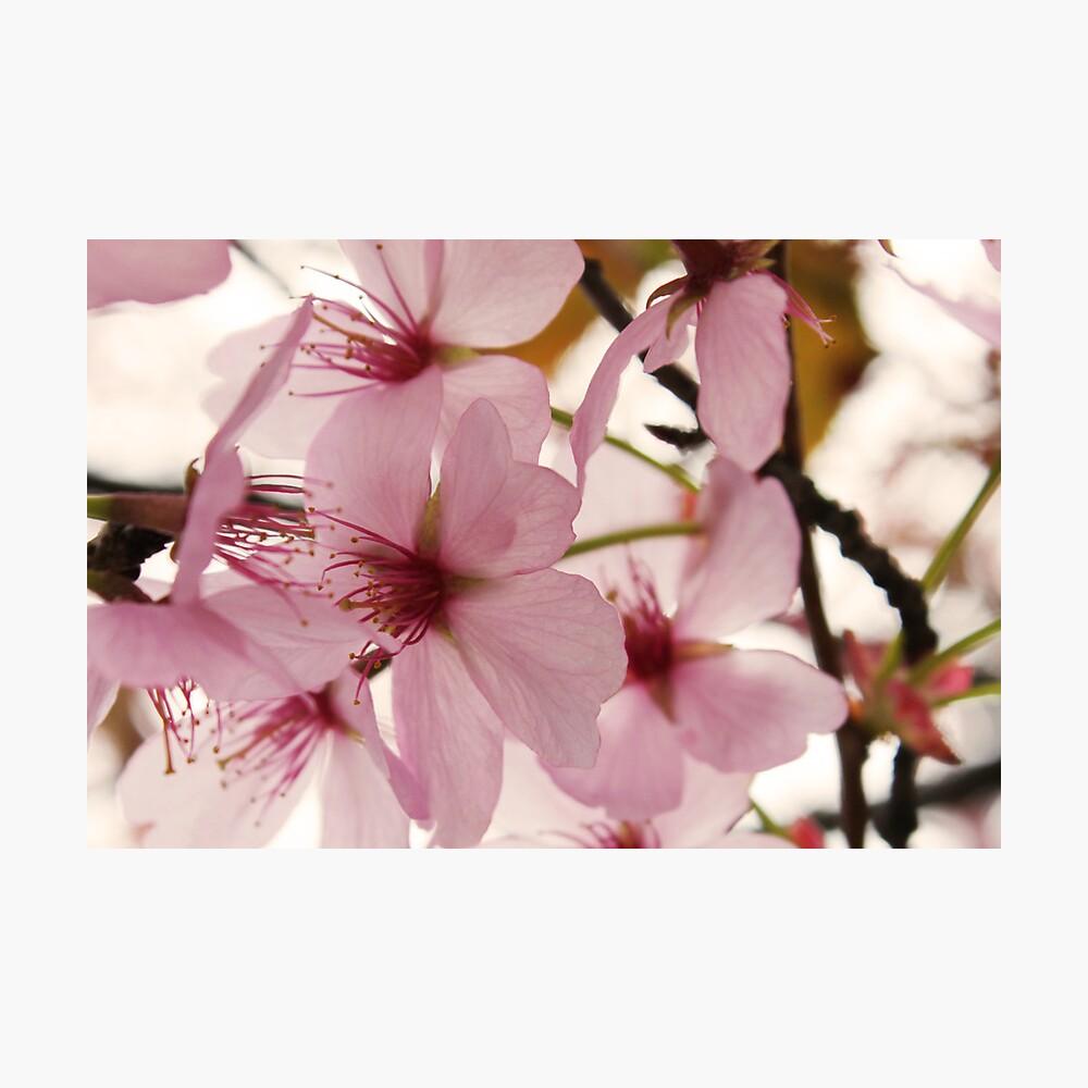Cherry Blossom Lámina fotográfica