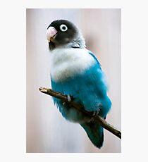 Blue Masked Lovebird Photographic Print