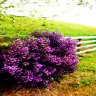 Lavender Fence by cjcphotography