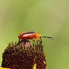 Blister Beetle 1 by Jimmy Ostgard