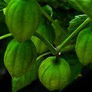 Hanging Tomatillos by Devalyn Marshall