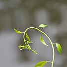 The Vine by Corkle