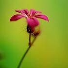 Geranium robertianum by duncandragon