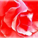Amazing Beautiful Pink Rose by EvePenman