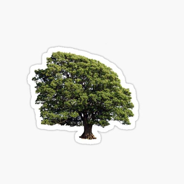 Large Oak Tree (Isolated on white background) Sticker