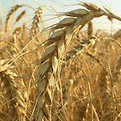 wheat by oralphd