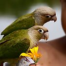 Fancy Green Cheek Conures by Kimberly Palmer