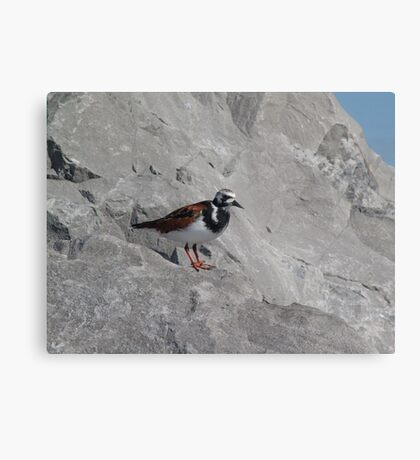 Ruddy Turnstone Metal Print