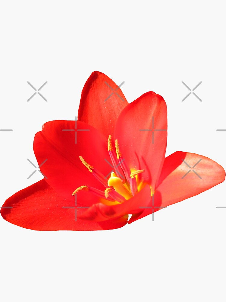 rote Tulpe, Tulpen, Blumen von rhnaturestyles