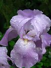 Single Iris in the Rain by MarjorieB