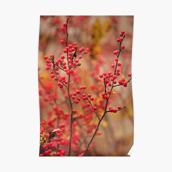 Winterberry Holly - Ilex verticillata Poster