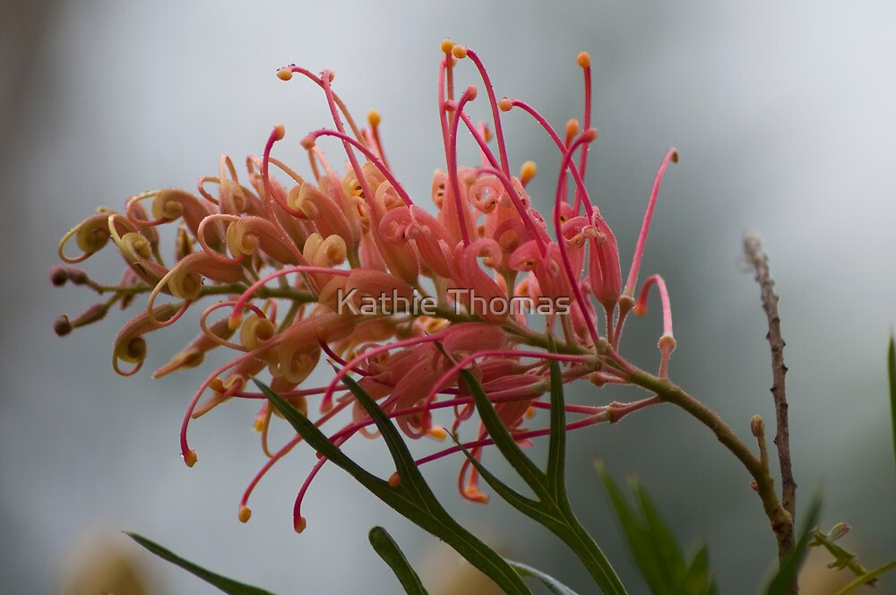 Grevillea  by Kathie Thomas