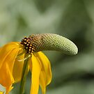 Yellow Prairie Coneflower by Jimmy Ostgard