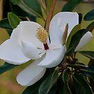Magnolia by Bonnie T.  Barry