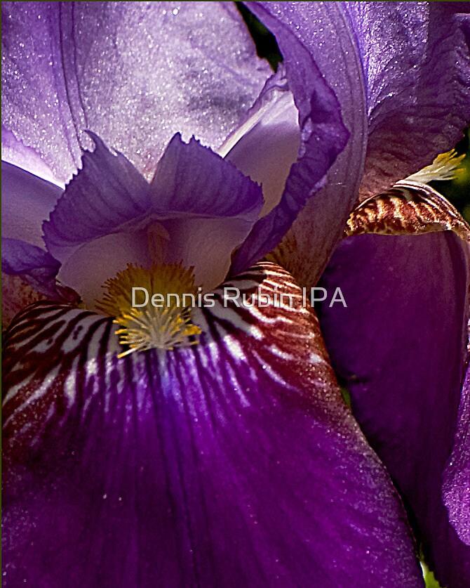 Multi-Colored Iris by Dennis Rubin IPA