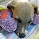 A Dog's Life - Whippet Pup Taking a Cat-nap (Filter Version) by marinar