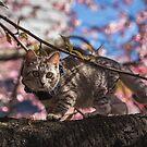 Fluffy Japanese Cherry Blossom Cat by TokyoLens