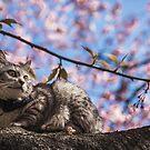 Tokyo Sakura Cat - Pondering by TokyoLens