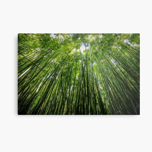 Giant Bamboo Forest - Maui, Hawaii Metal Print