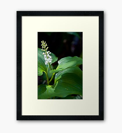 False Lily of The Valley Framed Print
