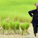 Working in the rice fields by Carl LaCasse