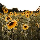 Sunflower field by laurelstreed
