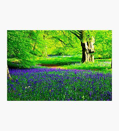 Bluebell Wood - Thorpe Perrow #2 Photographic Print