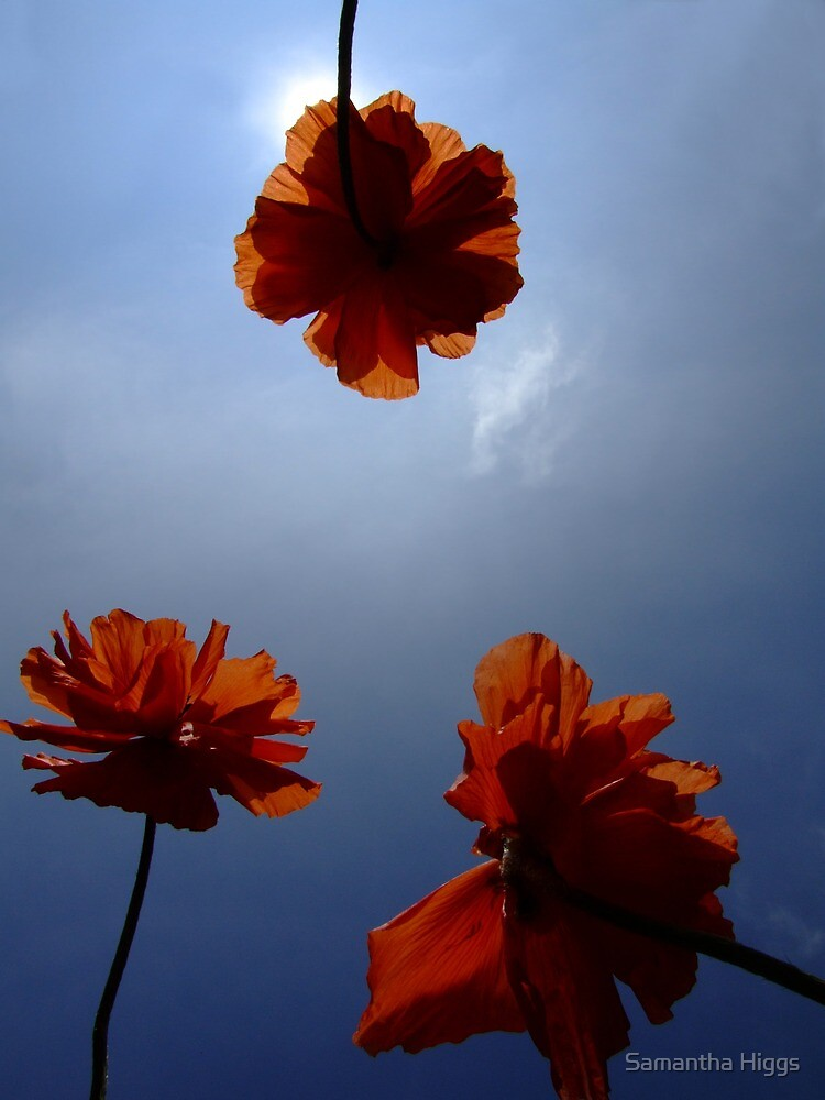 Poppies by Samantha Higgs