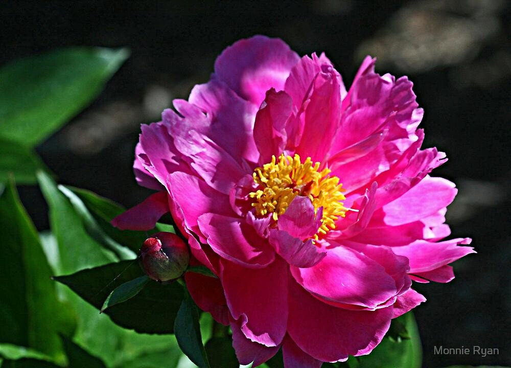 Sunny Pink Peony by Monnie Ryan