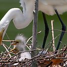 Little Egrets in the Nest by Bonnie T.  Barry
