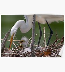 Little Egrets in the Nest Poster