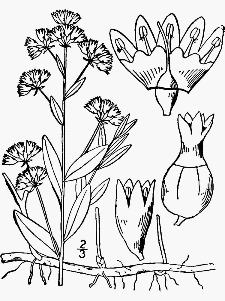 Botanical Scientific Illustration - Comandra Plant by pahleeloola