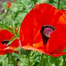Poppies by rightonian
