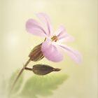 Geranium robertianum by Yool
