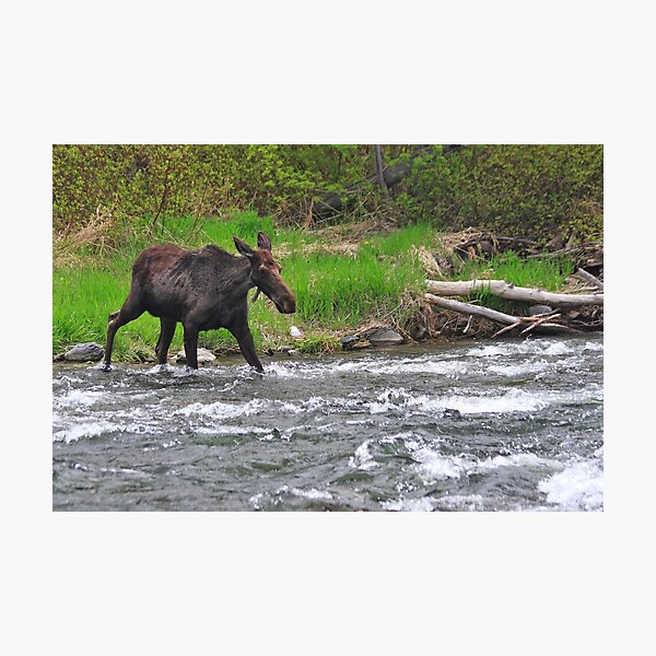 Moose Crossing Photographic Print