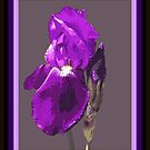 Iris I by Cathy O. Lewis