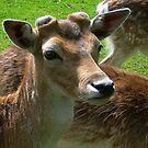 Fallow Deer by ienemien