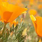 California Poppies by Mariola Szeliga