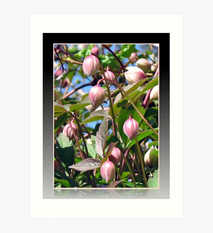The Darling Buds of May - Pink Clematis Kunstdruck
