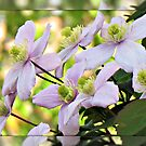 Early Morning Sunlit Clematis by BlueMoonRose