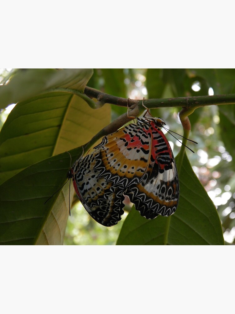 Butterfly LOVE! Leopard lacewing by Entomologist