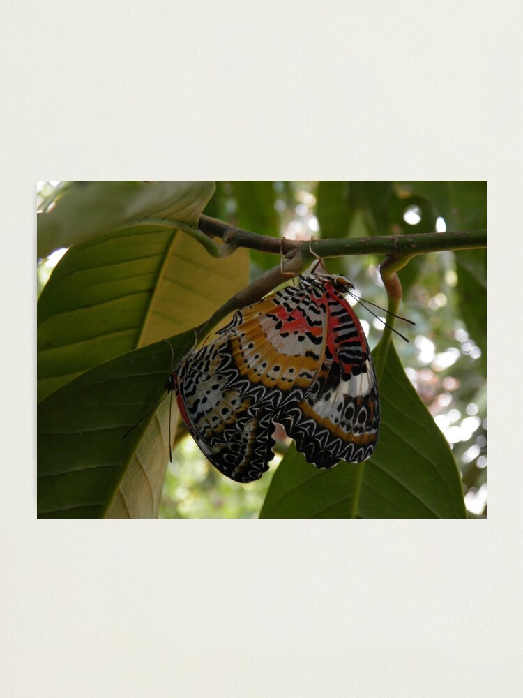 Alternate view of Butterfly LOVE! Leopard lacewing Photographic Print