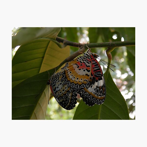 Butterfly LOVE! Leopard lacewing Photographic Print