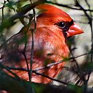 Cardinal Red by GraceNotes