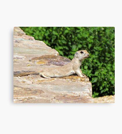 Round-tailed Ground Squirrel Canvas Print
