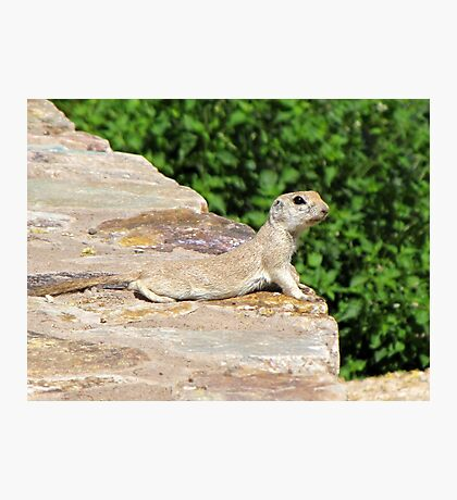Round-tailed Ground Squirrel Photographic Print