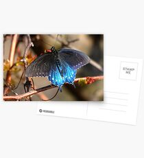 Pipevine Swallowtail Postcards