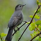 Gray Catbird by Nancy Barrett