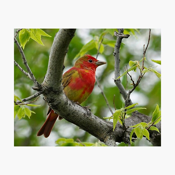 Summer Tanager Photographic Print