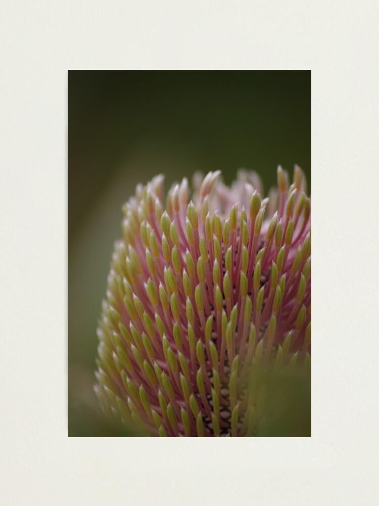Alternate view of Banksia menziesii Photographic Print